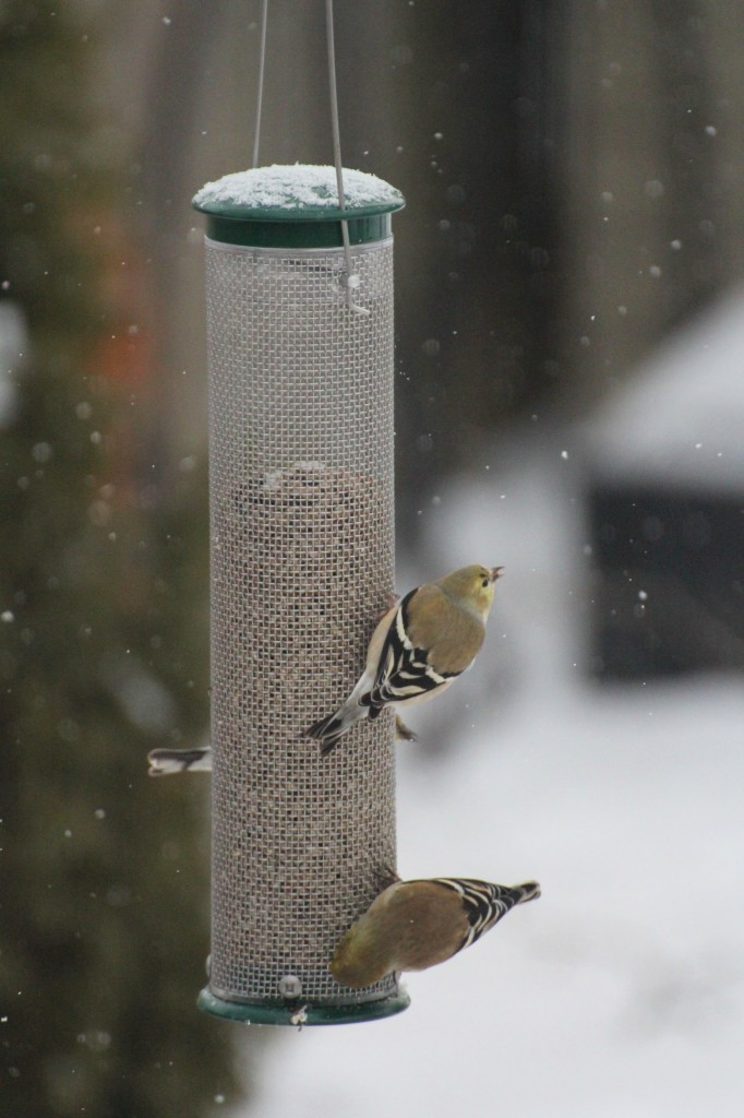 020814_goldfinches