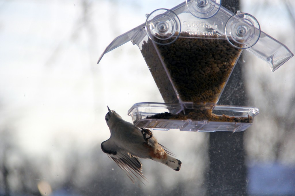 birds_011814_nuthatch