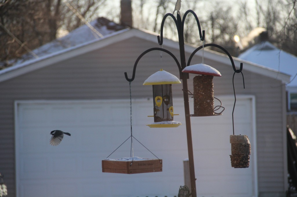 snow_012314_chickadee-in-flight