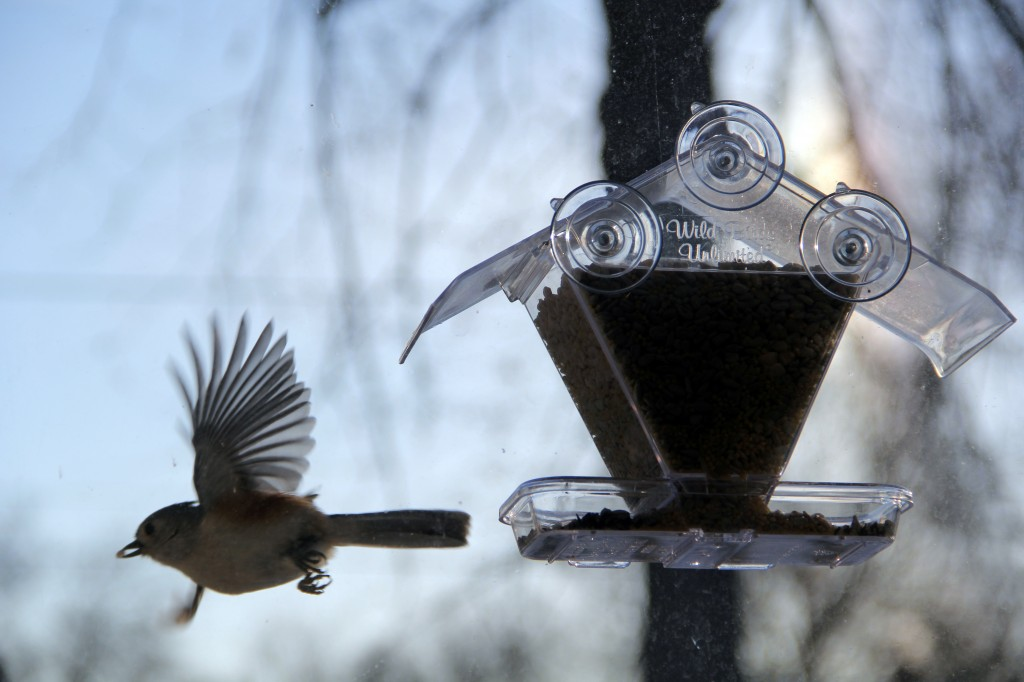 snow_012314_titmouse-with-seed