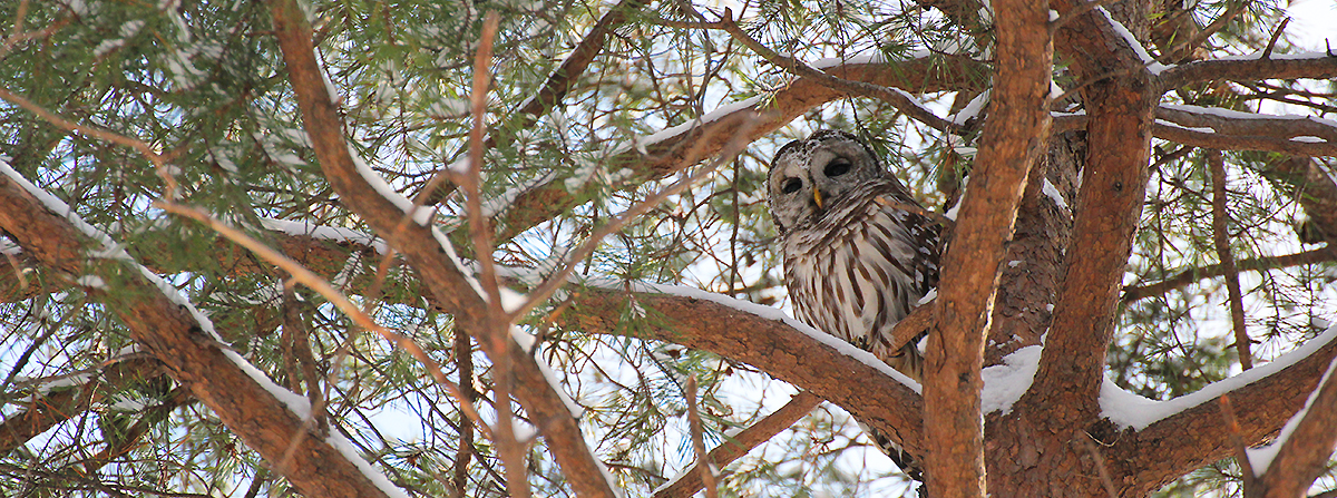 My first Barred Owl sighting, at Eagle Creek.